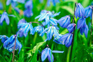 Blaustern Blausternchen bienenfreundlich