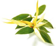 L'ylang-ylang, aux notes fleuries et exotiques, parfait pour calmer les angoisses