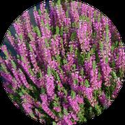 Husmann Heide-Jungpflanzen Button Calluna