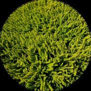 Husmann Heide-Jungpflanzen Button Empetrum