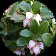 Husmann Heide-Jungpflanzen Button Arctostaphylos