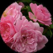 Husmann Heide-Jungpflanzen Button Rosen