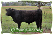 Galloway-Sharing | Mein BioRind