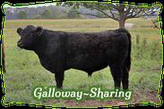 Galloway-Sharing | Mein BioRind