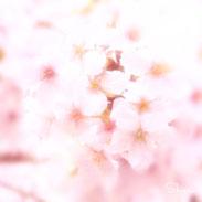 CPM公認セラピストShieri撮影の桜の写真