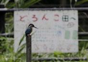 管理地の水田に現れたカワセミ    撮影:鈴木清美