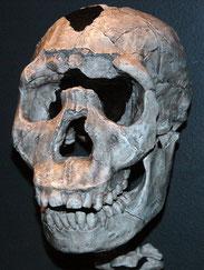 Homo ergaster and Homo erectus