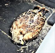 """Juli"" auf dem Transport zur Vogel- pflegestation"