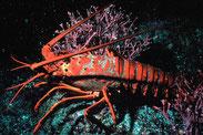 """Lobster 300"". Lizenziert unter Gemeinfrei über Wikimedia Commons - http://commons.wikimedia.org/wiki/File:Lobster_300.jpg#mediaviewer/File:Lobster_300.jpg"