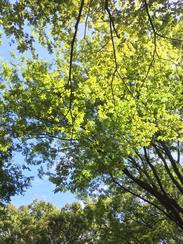 上野公園。見上げるときれいな緑…