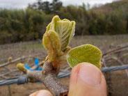 有機栽培キウイの成長 葉