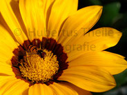 Bienenart auf Mittagsblume