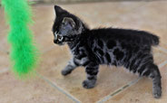 GRIZZLI (chaton disponible)