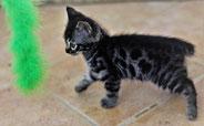 GRIZZLI (chaton disponible)