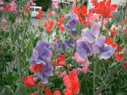 教会の庭に咲いたスイトピー