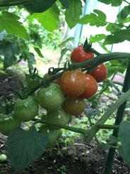 心美ファームのミニトマトです!
