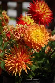 Dahlia x hortensis