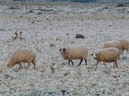 Où les moutons sont mangeurs de cailloux!