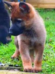 """8 Wochen alt; """"Der kleine Fuchs""""."""