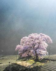 牛代の水目桜,mori_kekeさん,桜フォトコンテスト,2020,橋本屋
