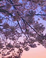 ゆうぐれさくら。,amyko_oさん,桜フォトコンテスト,2020,常盤堂 雷おこし本舗賞