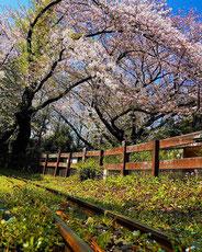 春の線路,twittaitiさん,桜フォトコンテスト,2020,常盤堂 雷おこし本舗賞