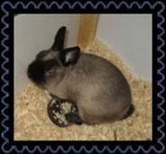 декоративные-карликовые-кролики