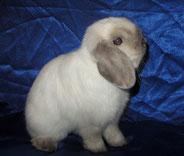 карликовый-баран-кролик