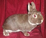 декоративный-кролик