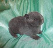 карликовые-кролики-москва