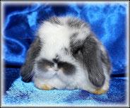 вислоухий-кролик