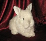 декоративные-кролики