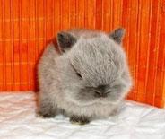карликовые-кролики