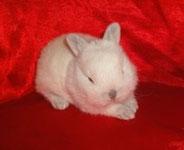 декоративные-кролики-купить