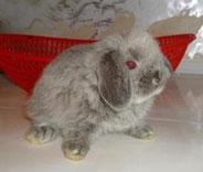 декоративный-карликовый-кролик