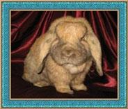 вислоухий-кролик-баран