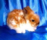 ангорский-кролик