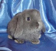 декоративные-кролики-цена