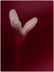 Uta Schott – Kardinalrot