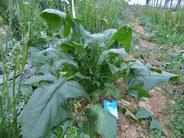 塩を散布して栽培したホウレンソウ