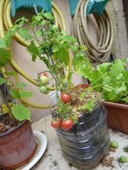 amphel tomate
