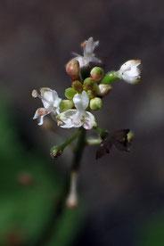 ミヤマタニタデの花