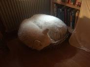 """Beim Schlafen überrascht; grösster Hund in kleinstem """"Bett""""..."""