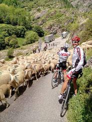 Bloqués par un peloton de moutons...!