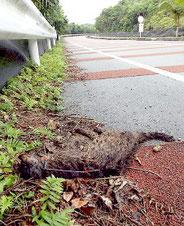 初の野生復帰個体のイリオモテヤマネコが交通事故死した=24日(環境省西表自然保護官事務所提供)