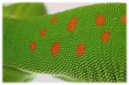 Die schuppige Haut des Grossen Madagaskar Taggeckos (Phelsuma grandis)