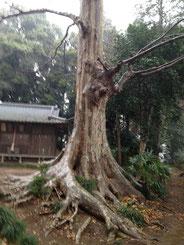 風水 ガーデニング ケヤキ 巨樹