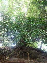 Baum im Dichtergarten oberhalb der Heinrich-Heine-Gedenkstätte