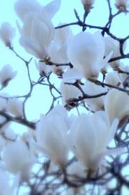 満開の白木蓮の花。