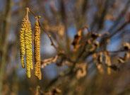 Erle  - Pollenflugkalender der Praxis Tophof Südlohn